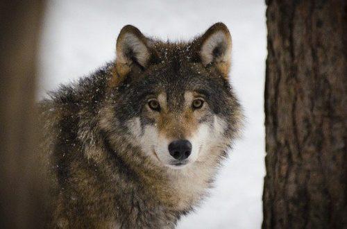 Il lupo in Italia