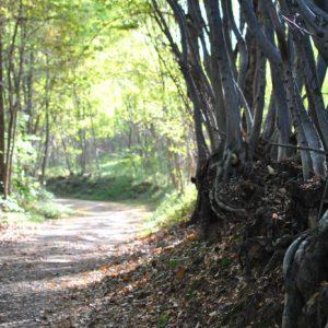 COME POTENZIARE IL NOSTRO SISTEMA IMMUNITARIO. Un bosco con una strada sterrata e degli alberi.