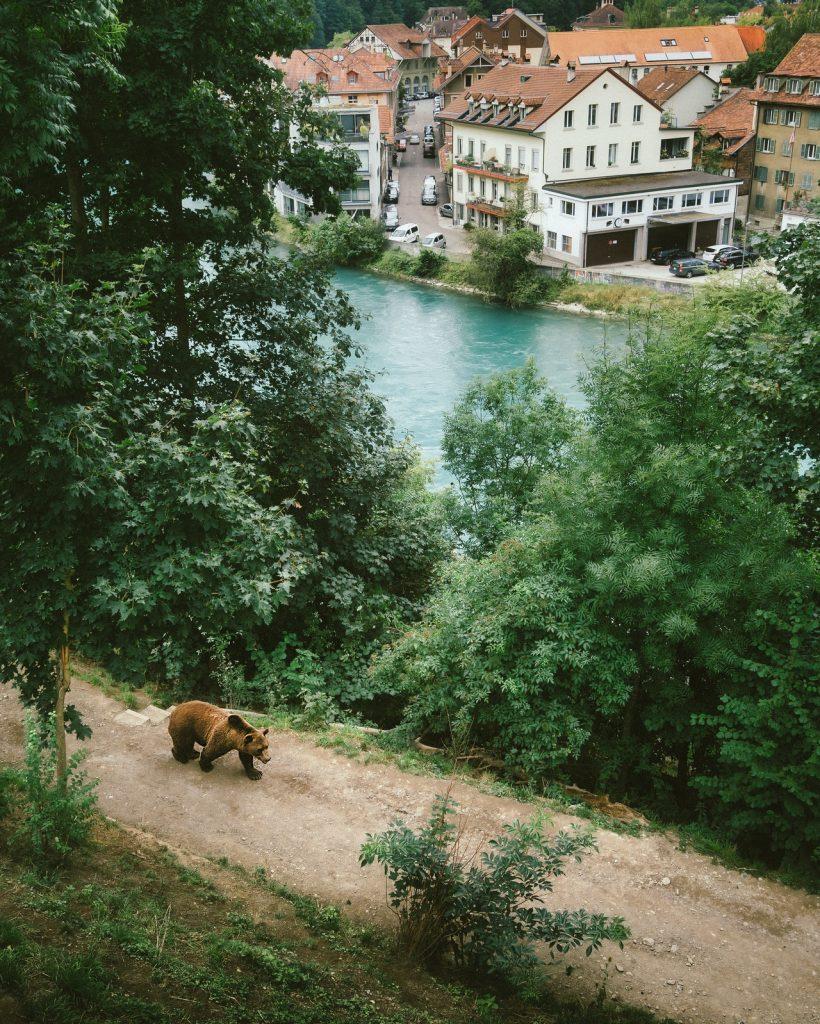 PROTEGGIAMO L'ORSO, ANIMALE SACRO E MOLTO IMPORTANTE PER IL NOSTRO ECOSISTEMA. Nella foto un orso che cammina in un Sentiero vicino alle abitazioni.