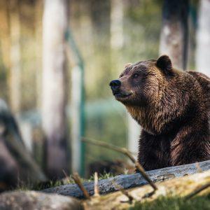 L'orso inItalia