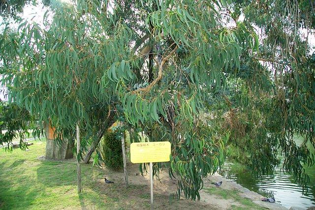 Albero di eucalipto nel parco del castello di Hiroshima, con targa gialla che indica che é sopravvissuto alla bomba atomica