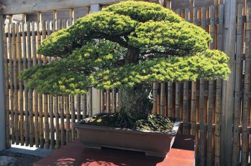 La resilienza degli alberi della bomba atomica