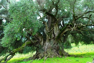 L'olivo di San Baltolu di Luras, S'Ozzastru