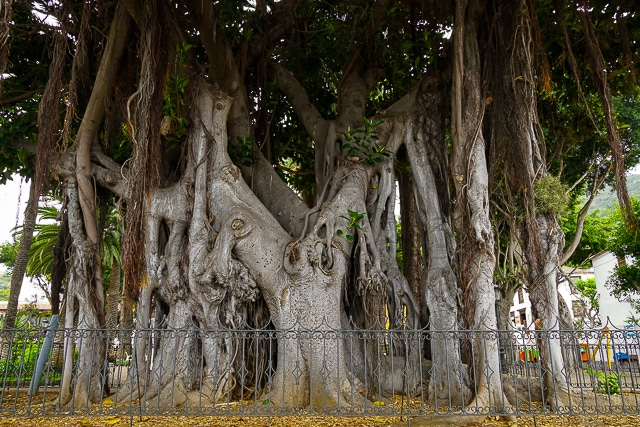 Albero di Ficus macrophylla, a Icod de Los Vinos, Tenerife.