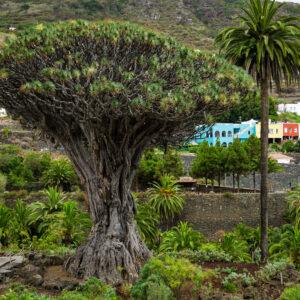 Il drago-Millenario-simbolo-di-Tenerife